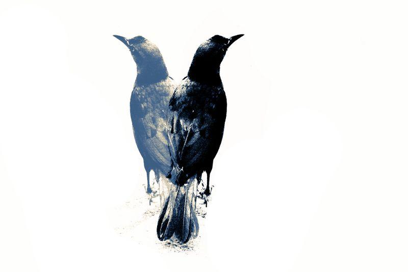 Black, blue, birds, decision, grackle, marcie vargas, bird, nature